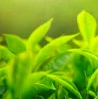 Immagine del tè verde